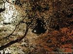 夜桜(3)