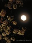 夜桜(5)