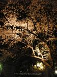夜桜(14)
