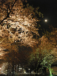 夜桜(15)