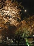 夜桜(16)