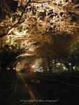 夜桜(17)