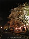 夜桜(19)