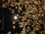 夜桜(20)