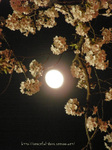 夜桜(21)