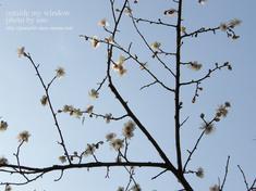 梅の写真 (9)