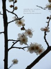 梅の写真(7)