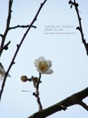 梅の写真 (10)