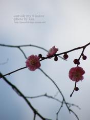 梅の写真 (11)