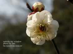 梅の写真(4)