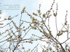 梅の写真 (12)