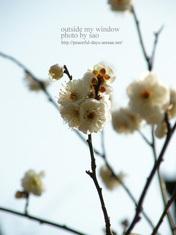 梅の写真 (15)