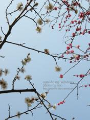 梅の写真 (14)