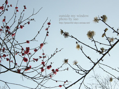 梅の写真 (13)
