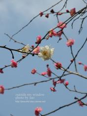 梅の写真(5)
