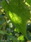 アブチロンの葉