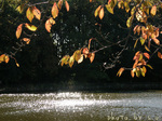 桜と輝く池の水