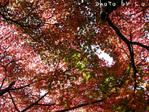 紅葉の木(1)