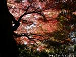 紅葉の木(2)