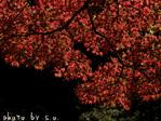 紅葉の木(3)