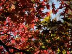 紅葉の木(5)