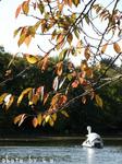 桜の葉とスワンボート