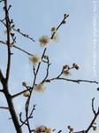 梅の花(11)