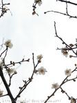 梅の花(12)