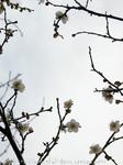 梅の花(13)