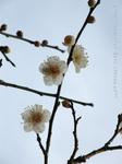 梅の花(14)