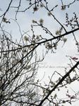 梅の花(15)