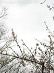 梅の花(16)