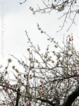 梅の花(17)