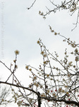梅の花(18)