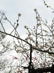 梅の花(19)