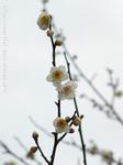 梅の花(21)