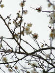 梅の花(22)
