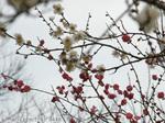 梅の花(23)