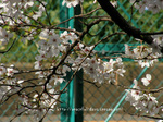 フェンスと桜
