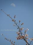 ひるの月と咲きたての桜