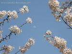桜と白い月