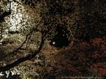夜桜(2)