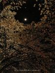 夜桜(4)