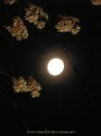夜桜(6)