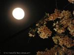 夜桜(7)