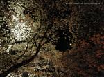 夜桜(8)