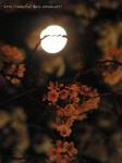 夜桜(22)