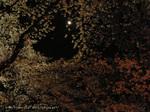 夜桜(11)