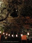 夜桜(9)