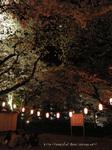 夜桜(10)